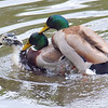 Mallard Mating Behaviors Part 1