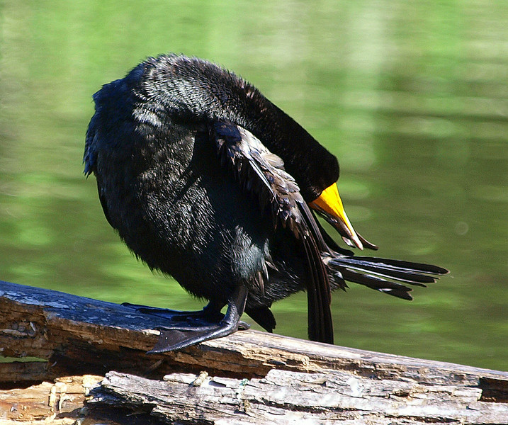 Gotta Be Limber To Reach Your Tail Feathers