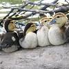 Eight Baby Muscovies