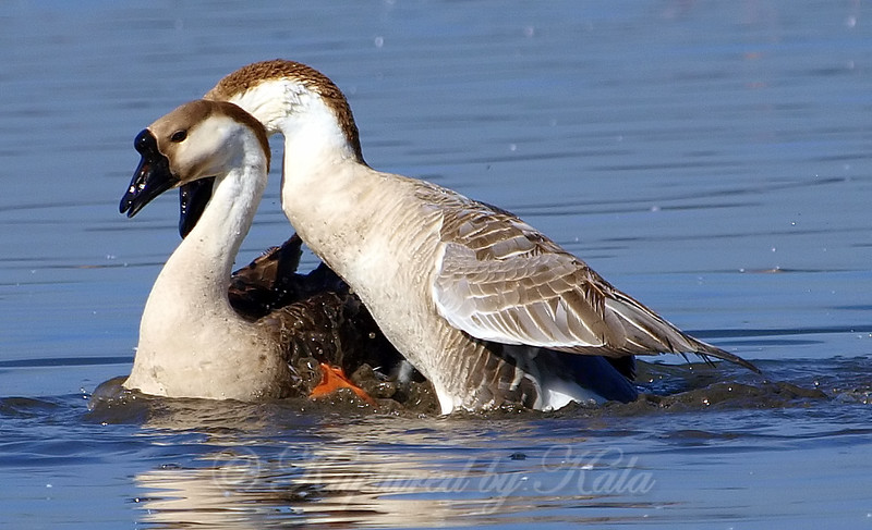 It's That Time Of Year For Geese Too Part 3 of 3