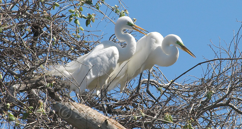 Great Egret Mating Behavior Part 6 of 7