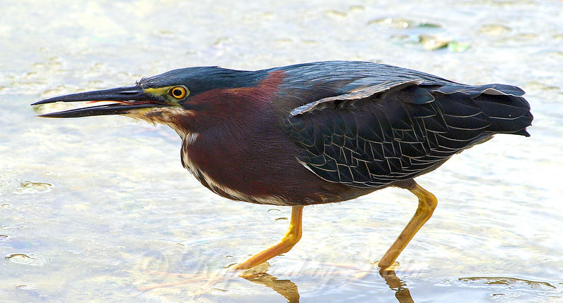 Green Heron Getting Ready to Fish With the Technique Called Tongue Flicking