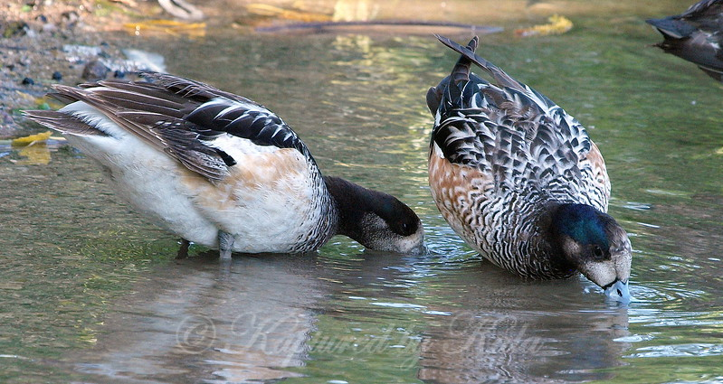 Chiloé Wigeons Are Dabbling Ducks