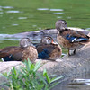 Comparing Juvenile & Adult Male Wood Ducks