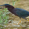 The Call of the Green Heron