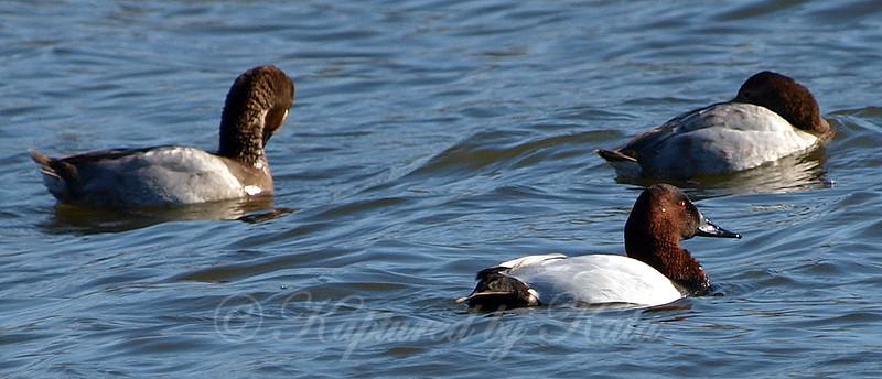 Canvasback Ducks