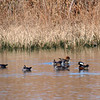 Eight Hooded Mergansers