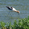 My First American Avocet
