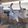 Wild Goose Chase 11
