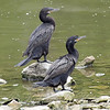 A Pair Of Neotropic Cormorants