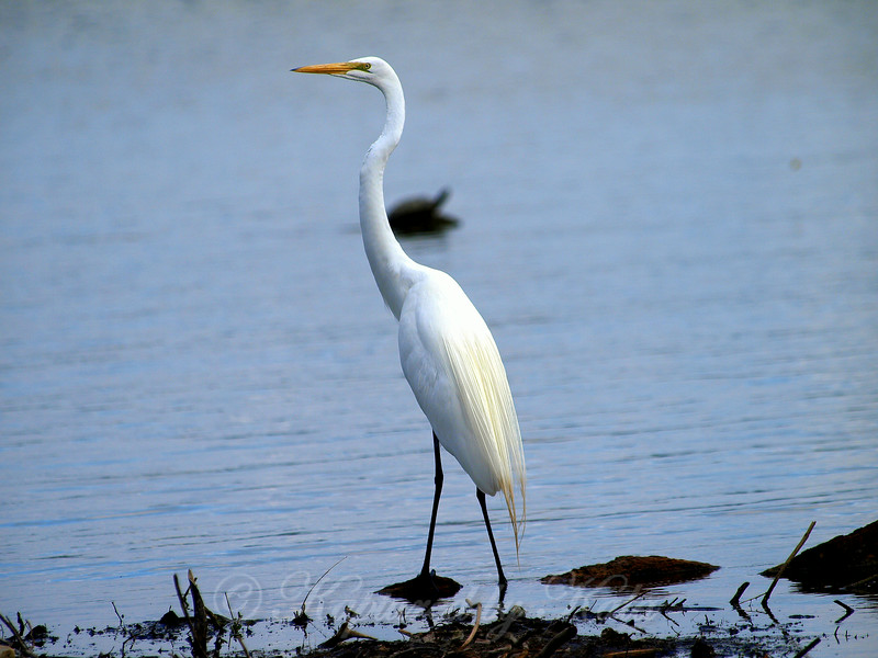 Great Egret With Turtle in the Background