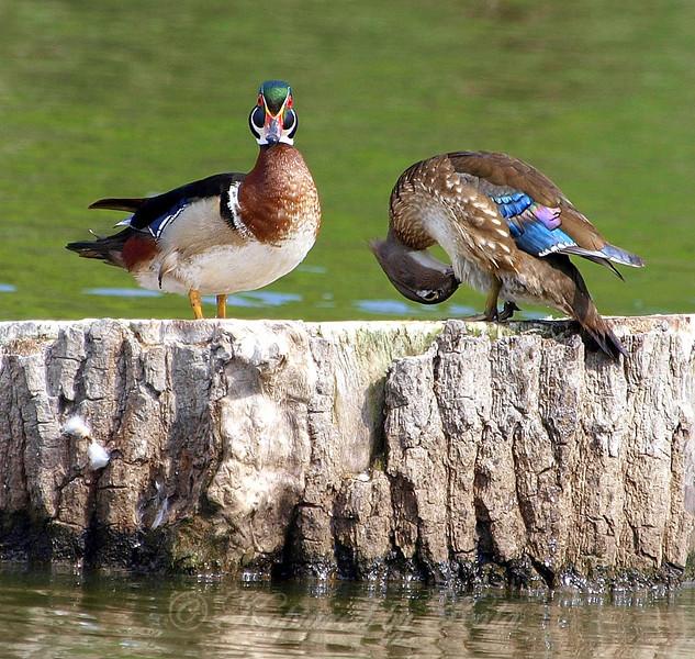 Wood Ducks in Love Part 2