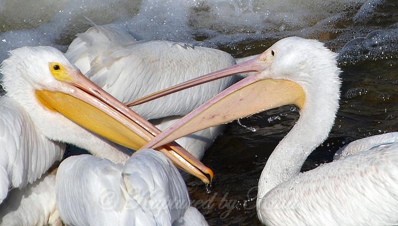 Pelican Wars Part 3
