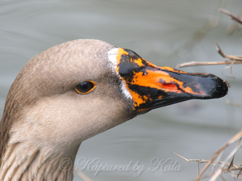 Chinese Goose Face Shot