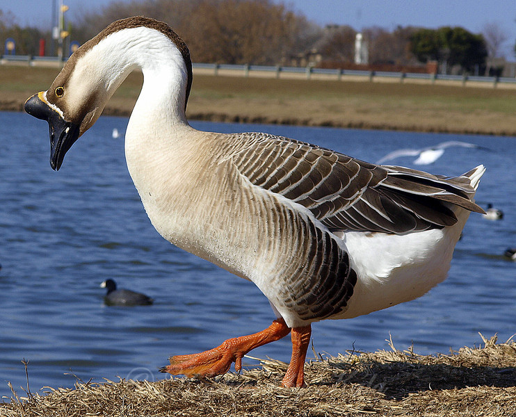 Male African Brown Goose