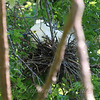 Snowy Egret Sitting On Nest View 1