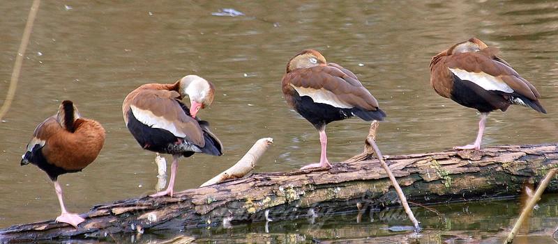 The One-legged Duck Society