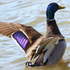 Blue Headed Mallard Displaying