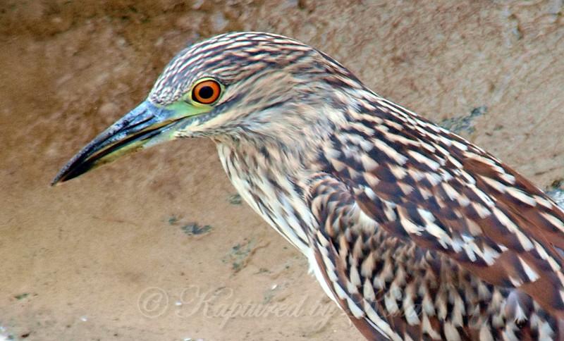 Close Up Of the Juvenile Heron