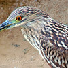Close Up Of the Juvenile Heron