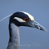 Close Up of the Yellow-crowned Night-Heron