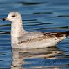 First Winter Ring-billed Gull Side View