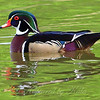 Wood Duck With Double Reflection