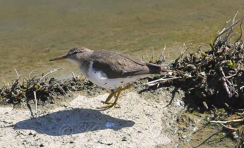 Spotted Sandpiper Poses For The Camera