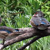 Just Hanging Out On The Wood Duck Tree