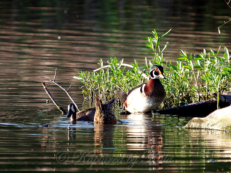 A Pair of Blue-winged Teal Hunt For Food While a Wood Duck Looks On