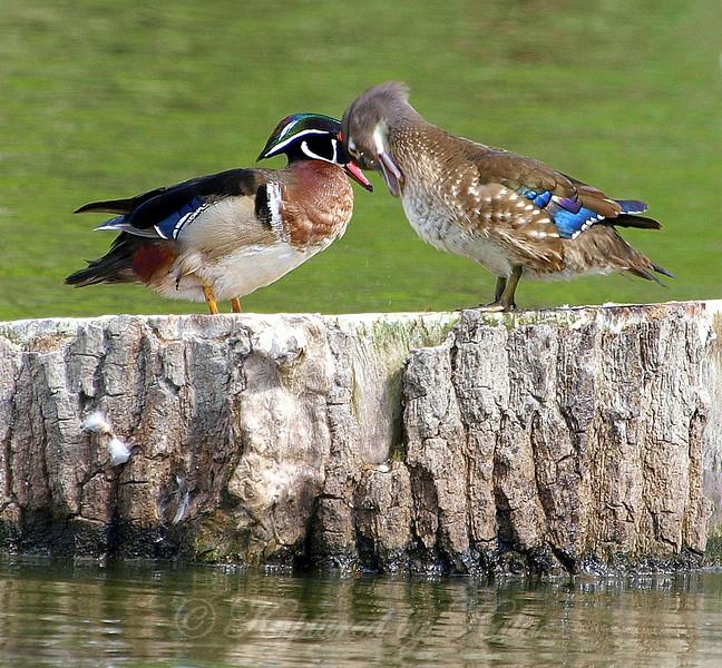 Wood Ducks in Love Part 3