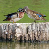 Wood Ducks in Love Part 3