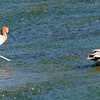 Avocet With Gadwall