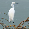 Snowy Egret Finds A Great Fishing Perch
