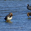Three Gadwalls Showing Their Nictitating Membranes