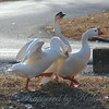 Wild Goose Chase 12