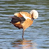 Ruddy Shelduck View 3