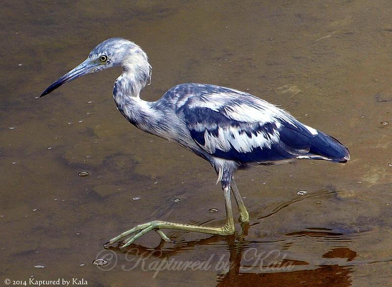 First Spring Little Blue Heron