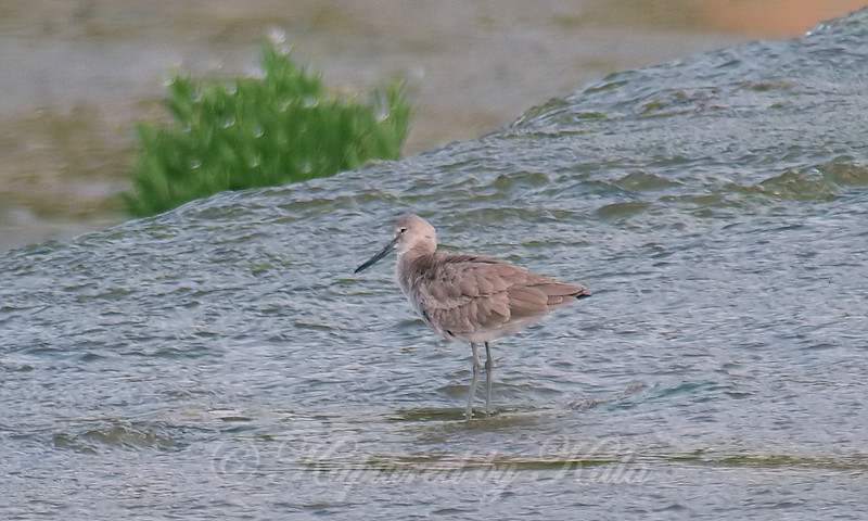 Willet Rouse
