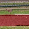 Killdeer On The Pitchers Mound