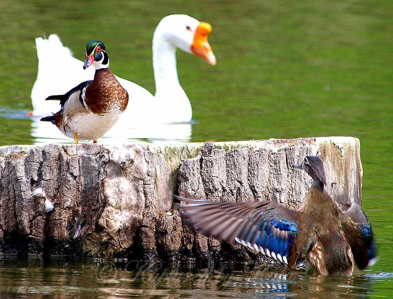 Wood Ducks in Love Part 1