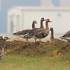 Flock Of Greater White-Fronted Geese