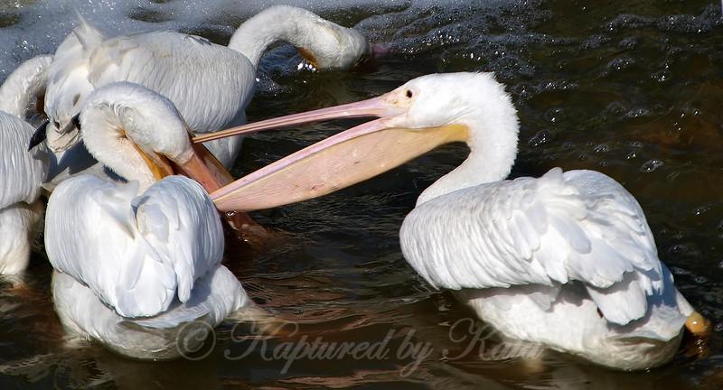 Pelican Wars Part 2