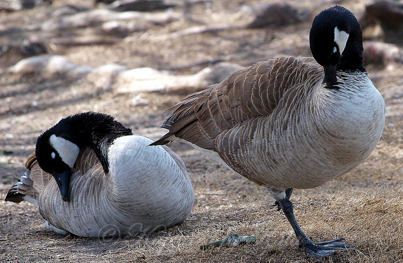 A Pair of Canada Geese Sleeping in the Sunshine