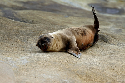 """Sea Lion Pup"""