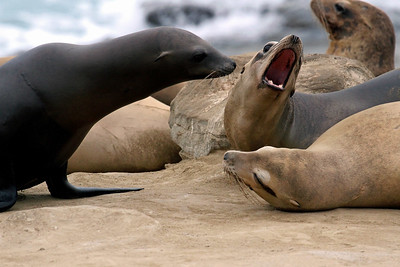 """Sea Lion Dispute"""