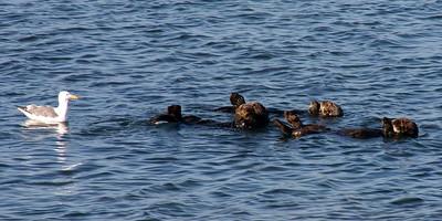 Moss Landing Otter trio