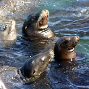 14x14 Seal Nap