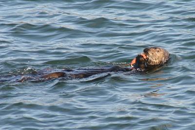 12x18 Moss Landing Otter feeding