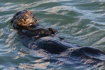 12x18 Moss Landing Otter